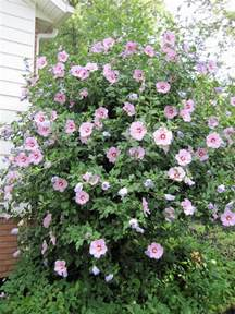 Rose of Sharon Bush Shrubs
