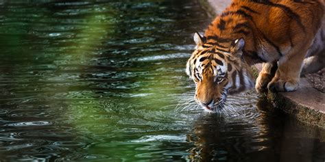 tiger  hd animals  wallpapers images backgrounds