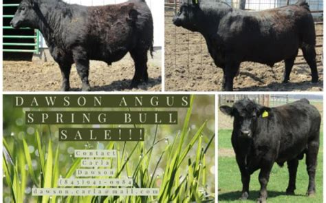 angus bulls cattle exchange bull needs give works call