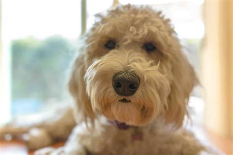 hypoallergenic dogs typically   single coat  dont