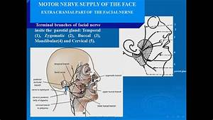 11 Motor Nerve Supply Of The Face Facial N
