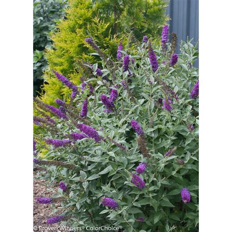 hedge plant with purple flowers proven winners 4 5 in qt miss violet butterfly bush buddleia live shrub purple flowers