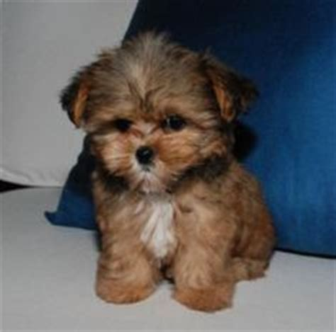 do shorkie puppies shed 1000 images about obsessed with shorkies and yochons