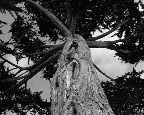 ansel easton adams trees art days