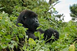 Mountain Gorilla Food Chain - Best Chimpanzee And Gorilla ...