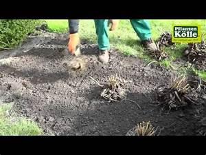 Dahlien überwintern Topf : dahlien im garten einpflanzen pflanzen k lle youtube ~ Orissabook.com Haus und Dekorationen