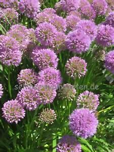 Allium Pflanzen Im Frühjahr : allium lauch von sempervivumgarten ~ Yasmunasinghe.com Haus und Dekorationen
