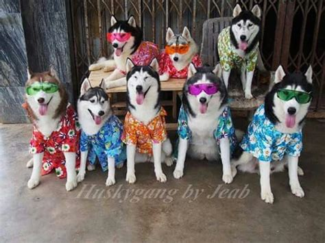 Pin By Becky Perez On Siberian Huskies. My True Passion