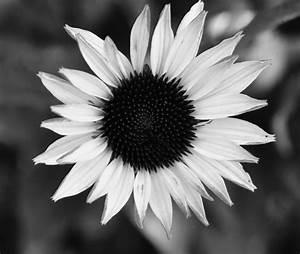 THE BLACK AND WHITE SUNFLOWER by BrisngrFire on DeviantArt