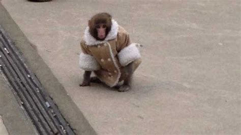 Ikea Monkey Being Weaned Off Human Contact, Sanctuary