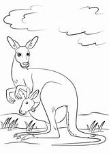 Kangaroo Pouch Coloring Drawing Pages Printable Joey Supercoloring Kangaroos Animals Categories Getdrawings Template sketch template