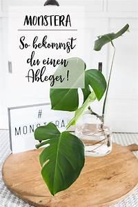 Monstera Deliciosa Ableger : plantlover wie mache ich einen ableger einer monstera ~ Eleganceandgraceweddings.com Haus und Dekorationen