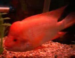 All About Aquarium Fish Keeping Midas Cichlid as Pet