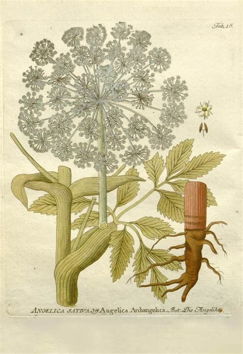 Best Images About Herb Botanical Prints