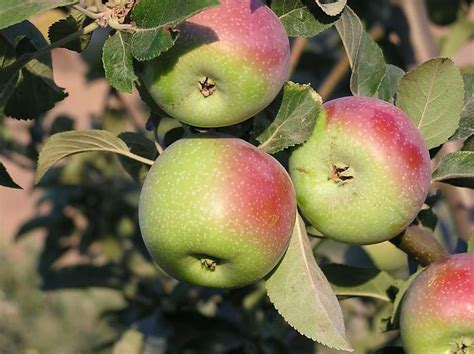Many kinds of apple trees do well in San Francisco - SFGate