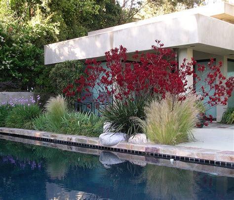kangaroo paw garden design garden design venice ca photo gallery landscaping network