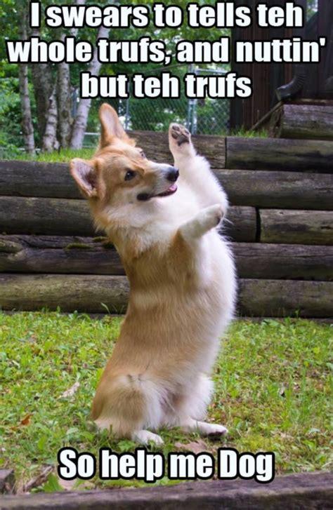 Best Corgi Memes (Part 3)   Corgi Dogs