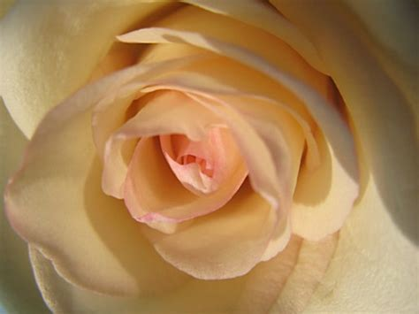 light cream yellow rosejpg