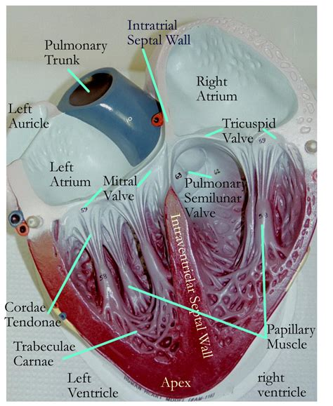 They are vital for carrying nutrients, oxygen and waste around the body. Cardiovascular Models