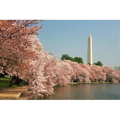 National Cherry Blossom FestivalDrive The Nation