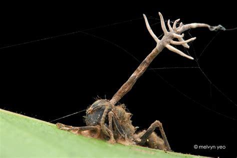 zombie ants melvynyeo fungi deviantart parasitic