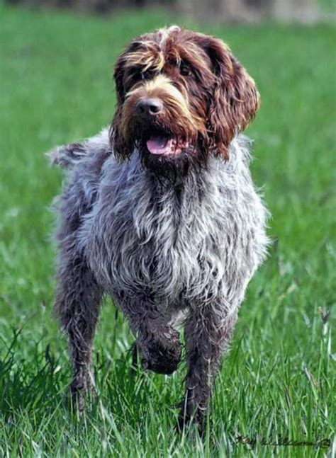 Wirehaired Pointing Griffon Non Shedding by Large Wirehaired Breeds Breeds Picture