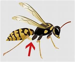 Bienen Und Wespen : bienen und wespen machen dem gartenbesitzer stress ~ Whattoseeinmadrid.com Haus und Dekorationen