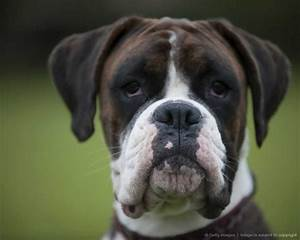 Head of Boxer dog, front view | Boxer Dogie's | Pinterest