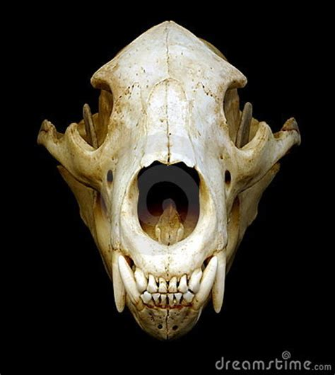 bear skull royalty  stock photography image