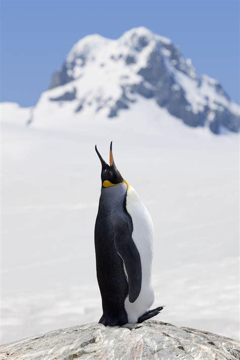 king penguins    threat  extinction