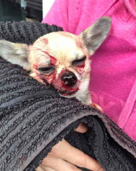 Chihuahua Named Bear Endures Brush With Death After