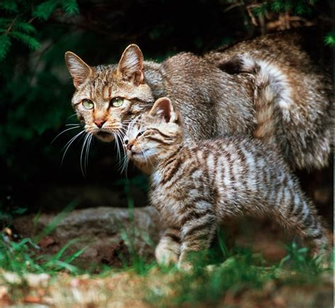 wie alt kann eine europaeische wildkatze werden tiere