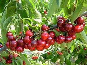 Planter Un Cerisier : planter un cerisier les bons gestes pour r ussir ~ Melissatoandfro.com Idées de Décoration