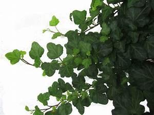 Efeu Pflanzen Kaufen : efeu hedera helix gro bl ttriger irischer efeu hedera ~ Michelbontemps.com Haus und Dekorationen