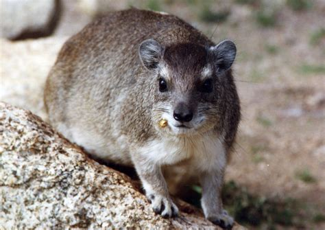 File:Bush Hyrax Serengeti.jpg - Wikimedia Commons