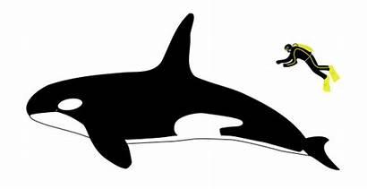 Orca Mona Welt Whale Killer Mensch Vergleich