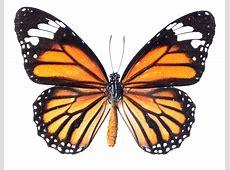 Image Of Butterfly QyGjxZ