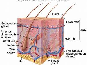 Integumentary system- Dominic - Body Systems Werner 2014