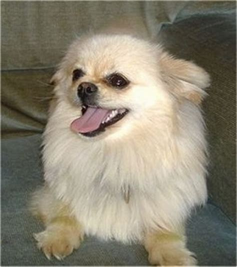 pomchi dog breed information  pictures