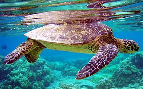 sea turtle wallpaper backgrounds wallpapersafari