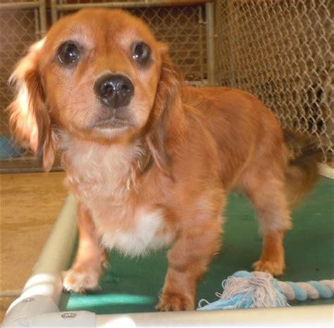 shrek dachshund humane society  dallas county
