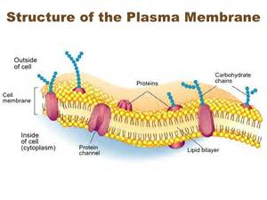 Carbohydrates Cell Membrane