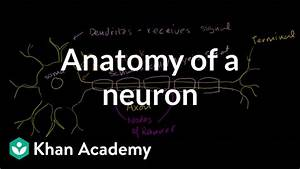 What Connects Sensory Neurons To Motor Neurons