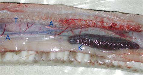 snake gastrointestinal tract anatomy