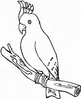 Coloring Parrot Cockatoo Pages Printable Sheets Cockatiel Popular Everfreecoloring sketch template