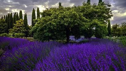 Wallhere Lavender Trees Nature Flowers