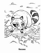 Raccoon Coloring Pages Racoon Sheet Sheets Chester Printable Preschool Cute Baby Template Getcoloringpages Animal Realistic Ladybug Getdrawings Wild Sponsored Links sketch template