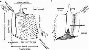 Fig. 2. Rhomboid ganoid scale of the actinopterygian ...