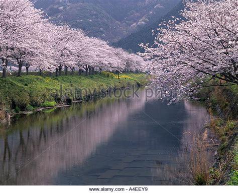Cherry Blossoms Roadside Trees Stock Photos & Cherry