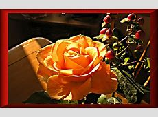Bilder Rosen hier finden Sie eine schöne orange Rose zum